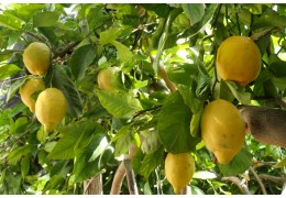 Amalfi lemon: the sfusato